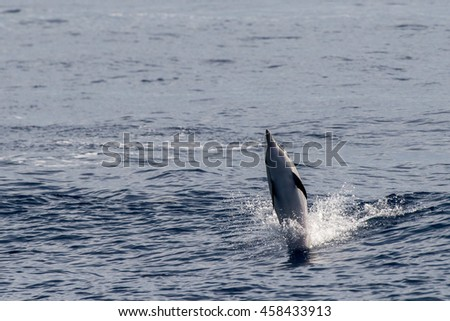 striped dolphin jumping outside the blue sea