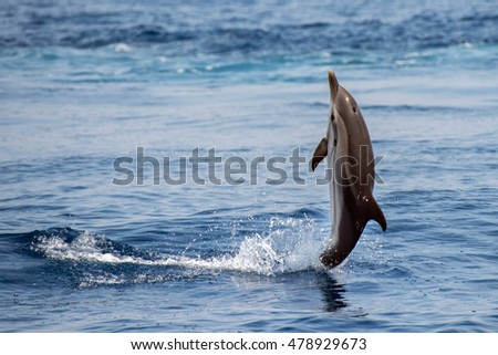 striped dolphin jumping outside the sea back swimming on tail