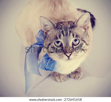 Striped domestic blue-eyed cat with a blue tape looks up. Cat with a bow.  - stock photo