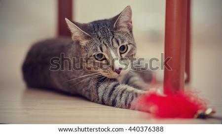 Striped domestic the cat plays with a toy under a chair. - stock photo