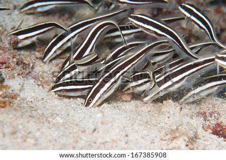 Striped Eel Catfish shoal - stock photo