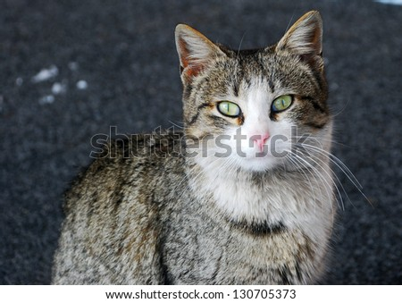 Striped gray cat looking direct to the camera