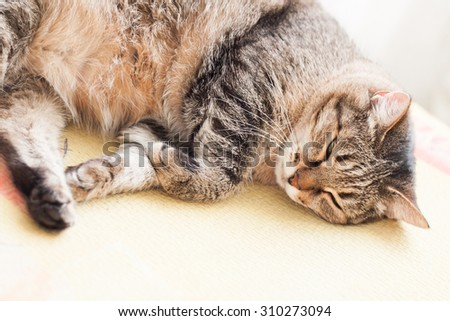 striped gray cat sleeping contented thick