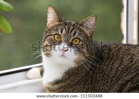 Striped, gray cat with yellow eyes sitting on the window - stock photo