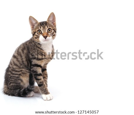 striped gray kitten sitting looking at the camera. Isolated on white background