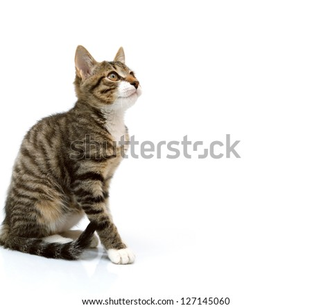 striped gray kitten sitting looking up. Isolated on white background