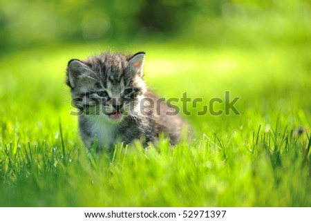 Striped grey kitten sitting in the grass mewing