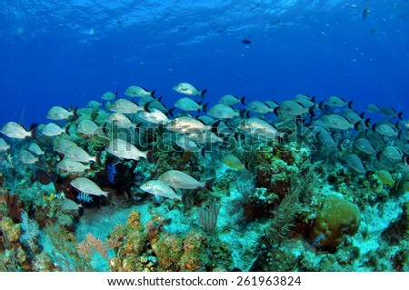 Striped Grunts patrolling the reef, Grand Cayman - stock photo