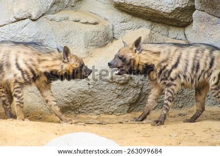 Striped hyenas - stock photo