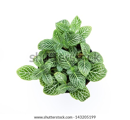 striped leaf ornamental plants on white background
