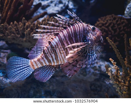 Zebra striped fish stock images royalty free images for Tiger striped fish