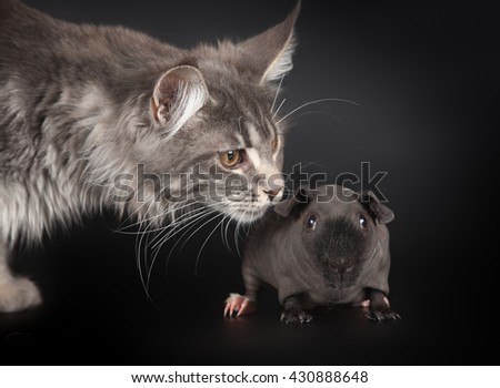 Striped maine coon smelling the naked guinea pig - stock photo