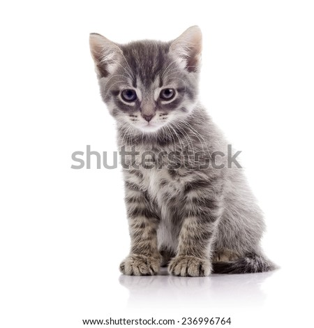 Striped not purebred kitten. Amusing gray kitten. Kitten on a white background. Small predator. Small cat. - stock photo