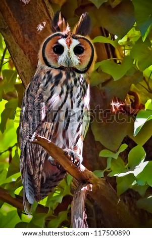 Striped Owl (Asio Clamator) portrait. Patagonia, Argentina, South America. - stock photo