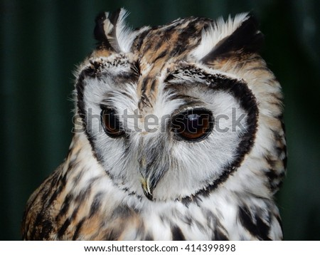striped owl (Pseudoscops clamator) - stock photo