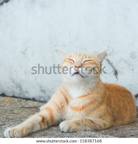 Striped purebred cat outdoor - stock photo