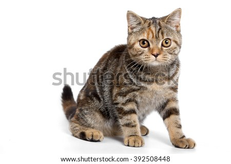 Striped red british cat (isolated on white)