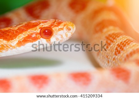Striped red, orange and white snake in the terrarium. Toned - stock photo