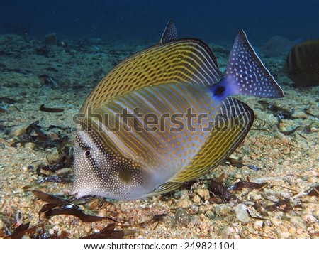 Striped sailfin tang surgeonfish (zebrasoma desjardinii) feeding on dead seagrass - stock photo
