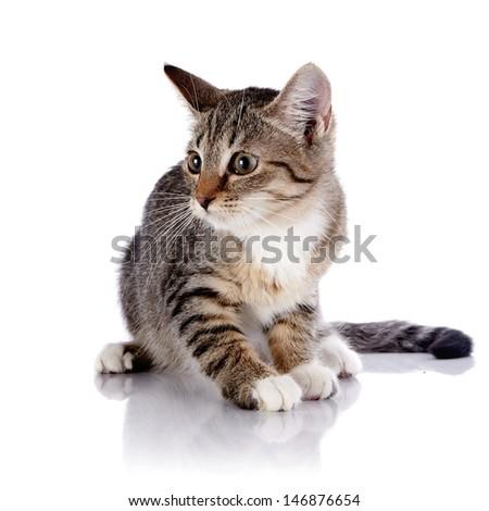 Striped scared kitten. Striped not purebred kitten. Kitten on a white background. Small predator. Small cat. - stock photo