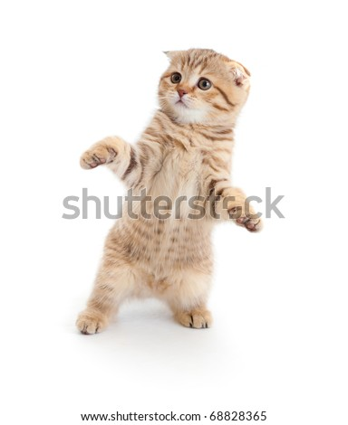 Striped Scottish kitten fold pure breed dancing isolated - stock photo