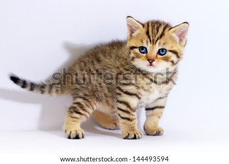 Striped scottish kitten with blue eyes. Kitten on a white background. Small predator. - stock photo