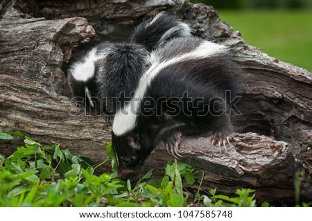 Striped Skunk Doe (Mephitis mephitis) and Kit Look Down Log - captive animals