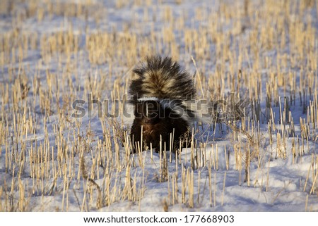Striped Skunk (Mephitis mephitis)
