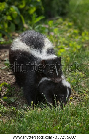 Striped Skunk (Mephitis mephitis) Carries Kit - captive animal