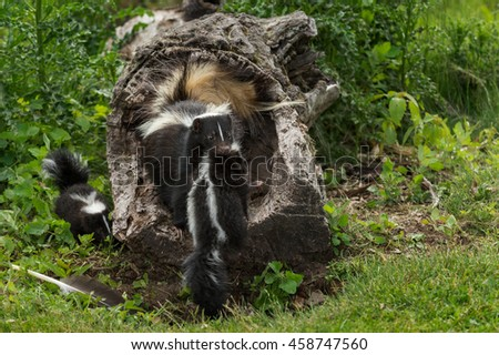 Striped Skunk (Mephitis mephitis) Grabs Kit - captive animal