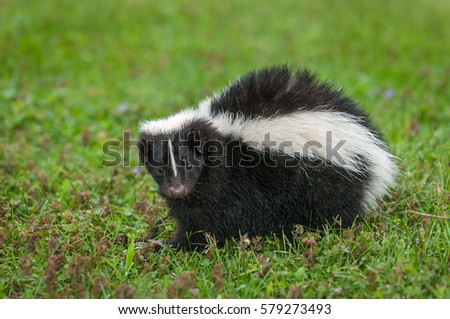 Striped Skunk (Mephitis mephitis) Looks Straight Out - captive animal