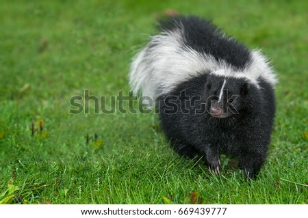 Striped Skunk (Mephitis mephitis) Turns in Grass - captive animal