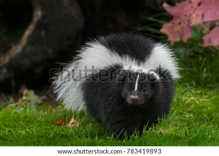 Striped Skunk (Mephitis mephitis) Walks Forward in Grass - captive animal
