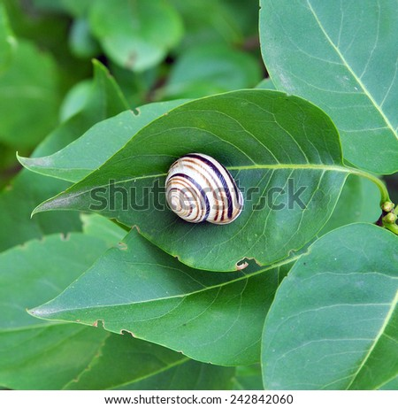 Striped snail creeping on the green leaf - stock photo