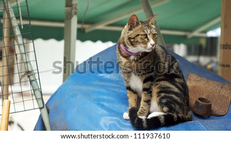 striped Tabby cat look around