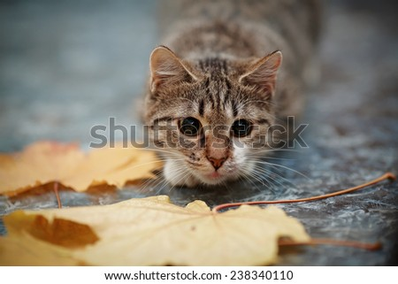 Striped with white a cat and autumn leaves. Striped not purebred kitten. Small predator. Small cat. - stock photo