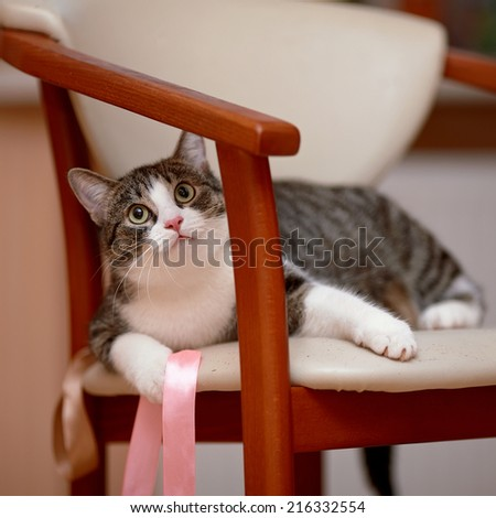 Striped with white the cat lies on a chair. Striped not purebred kitten. Small predator. Small cat. - stock photo
