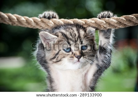 Stripy kitten hanging on the rope looking mean - stock photo