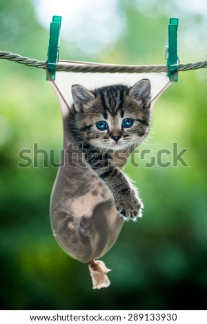 Stripy little kitten inside a stocking hanging on the rope looking straight - stock photo