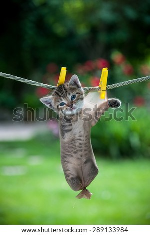 Stripy little kitten inside a stocking hanging on the rope looking straight, vertical - stock photo