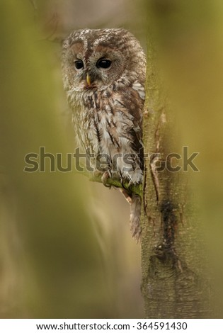 Strix aluco,Tawny Owl in early morning, perched on branch among blurred leaves and curiously stares at camera in colorful autumn European forest. Blurred green foreground and background.