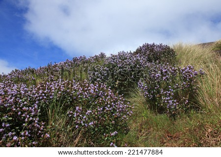 Strobilanthes kunthiana locally known as 'Neelakuriji' blooms at the hills of Munnar, Kerala. Strobilanthes kunthiana blossoms only once in 12 years. - stock photo