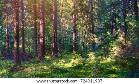 Stroll. Beautiful sunny pine forest. Eco-style. Forest background