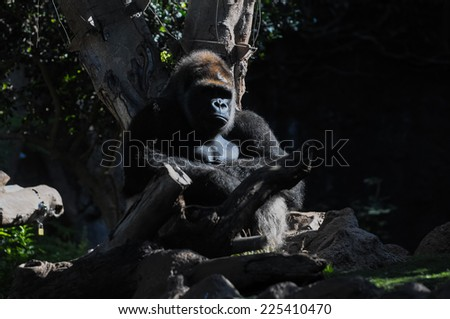 Strong Adult Black Gorilla on the Green Floor - stock photo