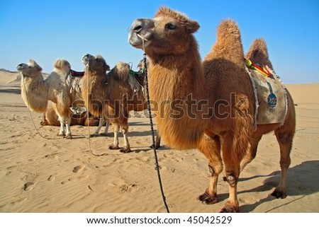 Strong camels standing in desert - stock photo