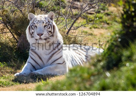 Strong dominating female white tiger in green grass - stock photo