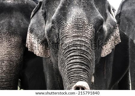 strong elephant - stock photo