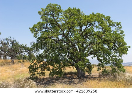 Strong green oak tree in the hills of southern California near Santa Clarita. - stock photo