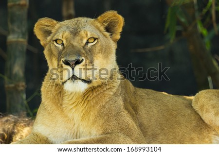 Strong portrait of a female lion or lioness looking calmly towards the viewer on a warm early morning day - stock photo
