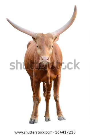 Strong red brown bull ox isolated on white background